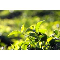 飲料茶葉批發、商用茶、茶改場、阿里山茶、春茶