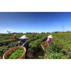 飲料茶葉批發、商用茶、茶改場、蜜香紅茶、大葉烏龍